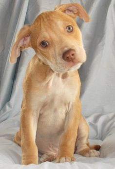Meet Colby a Petfinder adoptable Pit Bull Terrier Dog | Howell, MI | COLBY - MALE - PIT BULL TERRIER MIX - DOB March 7, 2014Colby is a handsome, playful pup...