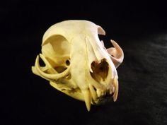 Real Bone Animal Skull Bobcat Taxidermy teeth and by EvasFeathers