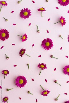 Pink daisy background by Ruth Black - Background, Daisy - Stocksy United Daisy Background, Flower Background Wallpaper, Sunflower Wallpaper, Flower Backgrounds, Floral Wallpaper Iphone, Phone Screen Wallpaper, Cellphone Wallpaper, Aesthetic Iphone Wallpaper, Pink Daisy Wallpaper