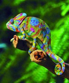kameleon - Google zoeken