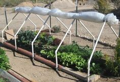 Bear Cave Mini-Greenhouse: Protecting Winter Greens in our Desert Garden