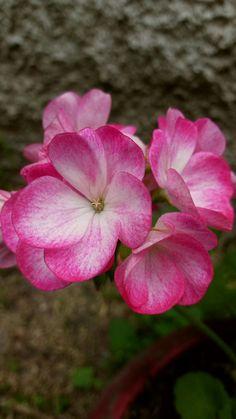 Beautiful Roses, Vegetables, Plants, Geraniums, Backgrounds, Flowers, Fotografia, Vegetable Recipes, Plant