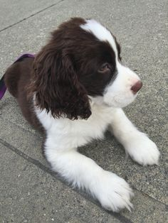 English Springer spaniel- Theodore Puppies And Kitties, Cute Puppies, Corgi Puppies, Doggies, Dog Grooming Business, Black Lab Puppies, English Springer Spaniel, German Shorthaired Pointer, Fluffy Animals
