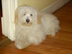 The Coton originated in the idyllic island of Madagascar off the southeast coast of Africa where the temperature by no means drops below 68 degrees F., a pleasantly warm climate. Cotons were initially found inside the port of Tulear, therefore the name Coton de Tulear.