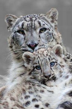 ❧ Wild cats - Les félins ❧ Panthère des neiges (snow panther)
