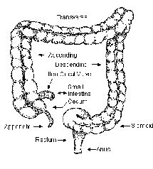 Healthy Colon Illustration