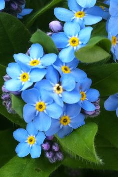 forget me nots - State flower of Alaska!!  memories