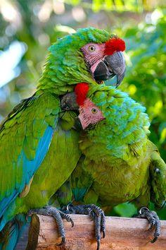 Vampire Parrot by sbohan, via Flickr