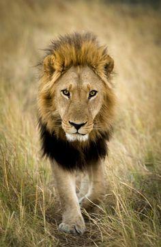 Mane King strutting his stuff like a boss in Kwando, Botswana by Bob Pietrowski Photography