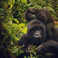 Happy Mothers Day to all the special moms out there! Photograph by Chimpanzee, Orangutan, Alpine Forest, Baby Gorillas, Mountain Gorilla, Volcano National Park, Paws And Claws, Endangered Species, Primates