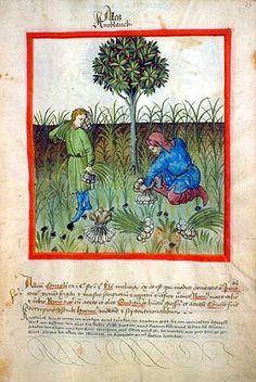 raccolta dell'Aglio Tacuina sanitatis (XIV secolo)