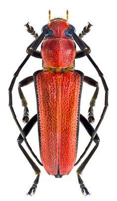 Glenea cardinalis