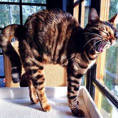 16 Best Pippa the Toyger Cat images in 2014 | Toyger cat, Cats, Baby