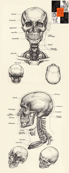 The Human Figure by David K.Rubins: The Skull The Human Figure by David K.Rubins: The Skull Head Anatomy, Human Anatomy Drawing, Anatomy Study, Anatomy Art, Anatomy Reference, Human Skeleton Anatomy, Art Reference, Human Figure Drawing, Life Drawing