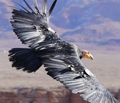California Condor flying over the Vermillion Cliffs in Arizona. Vermillion Cliffs, California Condor, Bird Species, Bird Feathers, Beautiful Creatures, Bald Eagle, Arizona, Birds, Nature