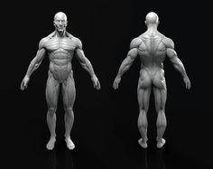Male Anatomy Model Sculpt