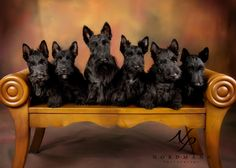 Locksley Scottish Terriers Pups