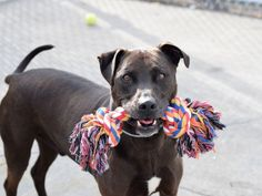 """SAID ABOUT BLIZZY - A1071470 -KILLED  - Brooklyn Please Share: TO BE DESTROYED 05/04/16 A move to someplace that Blizzy couldn't go has landed this handsome middle aged boy in a cage at Brooklyn ACC. In good health when he got there, Blizzy's even already neutered. And what a full of life, friendly boy he was during his intake process—""""bouncy, jumps up, gives kisses, allows all handling""""! But being gorgeous, being friendly, being full of life won't spare Blizzy—they've put"""