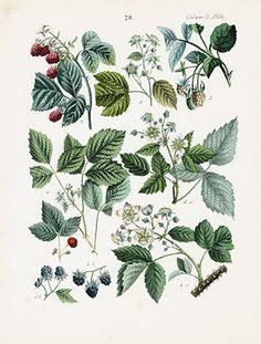Raspberry, Blackberry|Calwer Fruit Prints 1854