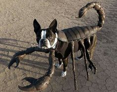 Look out! Here comes Spider-dog: Terrier with the best fancy dress wardrobe in the world Pet Halloween Costumes, Animal Costumes, Pet Costumes, Dog Halloween, Scorpion Halloween, Costume Ideas, Dog Spider Costume, Zombie Costumes, Halloween Couples