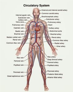 Human Anatomy and Physiology Diagrams: Circulatory system diagram