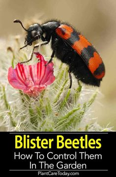 Blister Beetle - How To Control Blister Beetles [In The Garden] Blister Beetle - common garden pest known to produce blisters from the blistering agent secretion known as cantharidin released when crushed or injured. Garden Insects, Garden Pests, Garden Bugs, Garden Water, Garden Tools, Japanese Beetles, Growing Greens, Growing Plants, Xeriscaping