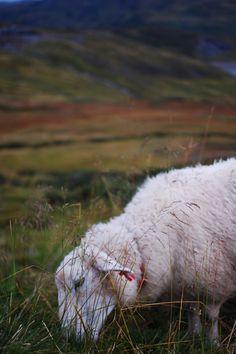 one sheep