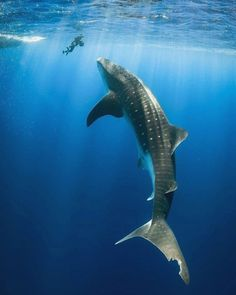 ~Simply breathtaking🦈❤🌊 What is your best underwater encounter? Karmen Jones-Cox captured this stunning shot of a whale shark off the… The Ocean, Ocean Life, Under The Water, Under The Sea, Fishing Photography, Underwater Photography, Swimming With Whale Sharks, Shark Fish, Whale Shark Diving