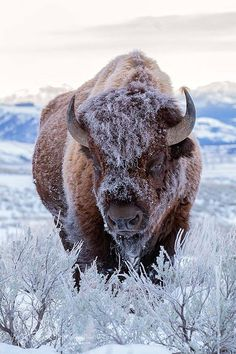 A frosty Bison just chillin Fast Crazy Nature Deals. Nature Animals, Animals And Pets, Funny Animals, Cute Animals, Strange Animals, Animal Bufalo, Wildlife Photography, Animal Photography, Funny Photography