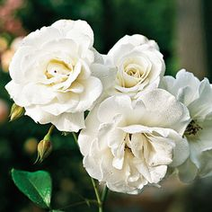 'Glamis Castle', a fragrant, compact, white, repeat-blooming David Austin rose.