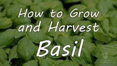 A fragrant, annual herb, basil is a popular crop to grow. With the proper care, it can provide a continuous supply of leaves throughout summer months. From choosing between basil varieties to understanding how to Reiki, Types Of Christmas Trees, Types Of Herbs, Garden Show, Think Of Me, Wicca, Magick, Basil, Harvest