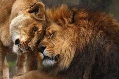 """Lion Love."""