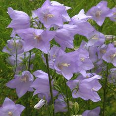 Campanula persicifolia - Like a large version of a harebell Dense clumps of foliage and a succession of sky blue bells. Height 80cm Excellent cut flower. Good on chalk
