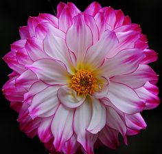 ~~ Pink and white petals..dahlia by Giovanni88Ant~~