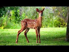 Wild deer - deer & animals background wallpapers on desktop nexus Cute Wild Animals, Animals And Pets, Baby Animals, Deer Wallpaper, Animal Wallpaper, Wild Deer, Wild Birds, Oh Deer, Baby Deer