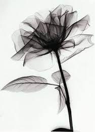 תוצאת תמונה עבור x-ray of lotus