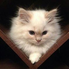 old style Persian kitten