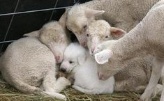 A livestock protection dog pup has sought the comfort of a group of young lambs. I raised my Great Pyrenees pup with my sheep. Had a flock of registered Border Cheviot Sheep for 15 years. She was the best dog! Farm Animals, Animals And Pets, Funny Animals, Cute Animals, Funny Pets, Funny Farm, Vegan Animals, Gato Animal, Great Pyrenees