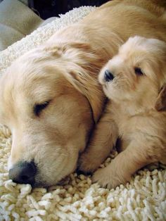 ❤️️️Golden Retrievers ~ Mama Dog and her Puppy