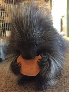 Our new baby porcupine at the San Angelo Nature Center: Penelope! - more at megacutie.co.uk