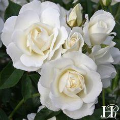 Iceberg Rose-considered a good starter rose. Hard to kill