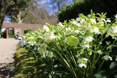 Heavenly Hellebores (Explored) | Discovered from Dream Afar New Tab