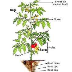 All About Growing Tomatoes: Tomato Plant Details Tips For Growing Tomatoes, Growing Tomatoes In Containers, Grow Tomatoes, Growing Vegetables, Early Girl Tomato, Tomato Support, Pruning Tomato Plants, Cherry Tomato Plant, Plants