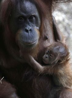 Remember when you could cuddle with your mommy anytime you wanted? List Of Animals, Animals And Pets, Cute Creatures, Beautiful Creatures, Cute Baby Animals, Funny Animals, Baby Orangutan, Miss You Mom, Mountain Gorilla