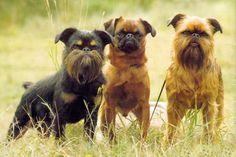 Belgian Griffon (Griffon Belge, Petit Brabancon & Griffon Bruxellois)