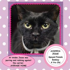 ADOPTED/RESCUED - TO BE DESTROYED 4/2/15 *NYC* SWEET GIRL! JESSE THE BOMBAY KITTIE -- NEEDS YOU AT BACC! * Brooklyn Center * She comes to the front of the cage seeking attention. My name is JESSE. My Animal ID # is A1029916. I am a spayed female black dom sh mix. I am about 4 YEARS old. I came in on 03/10/2015 OWNER DIED.