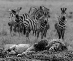 Wildlife Animals & Nature — .  Lion is really asleep.  Photography by © (Simon...