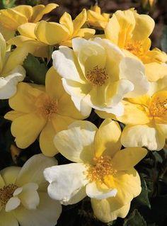 the Sunny Knockout rose