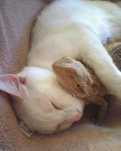 Cuddly kitty, hugging a lizard is if it were her teddy bear.