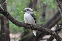 The Kookaburra - one of Australia's more well known birds